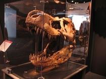 迫力のティラノサウルスの実物頭骨