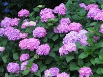 6月下旬〜7月中旬、足羽山公園の見頃を迎えた紫陽花