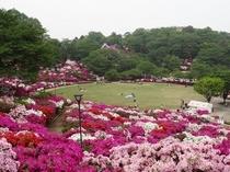 日本海側最大規模の西山公園のつつじ、まさに圧巻です!!