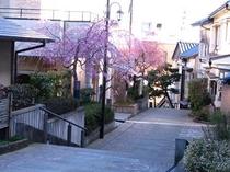 4月、足羽山公園、愛宕坂の桜