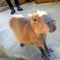 足羽山公園遊園地内のハピジャンのカピバラ。自由に放し飼いされている動物たちの中でも一番の人気者。