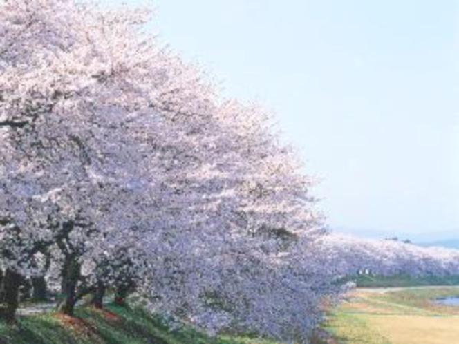 2kmに及ぶ足羽川の桜並木