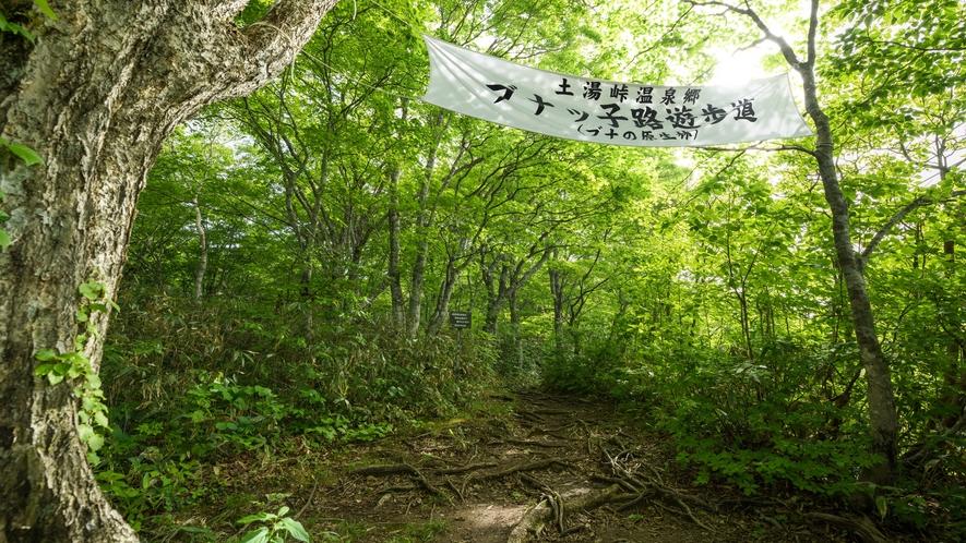 【ブナッ子路遊歩道】季節毎に様々な高山植物をご覧いただけます。
