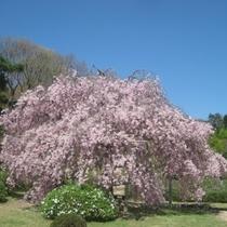 しだれ桜|樹齢40年八重しだれ桜 ※見頃4月中旬~4月下旬