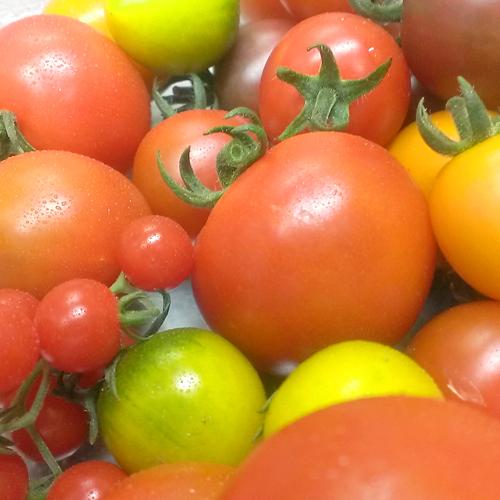 *吉田農園のトマト
