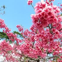 日本一早く咲く桜「寒緋桜」(見ごろ:1月中旬~2月中)