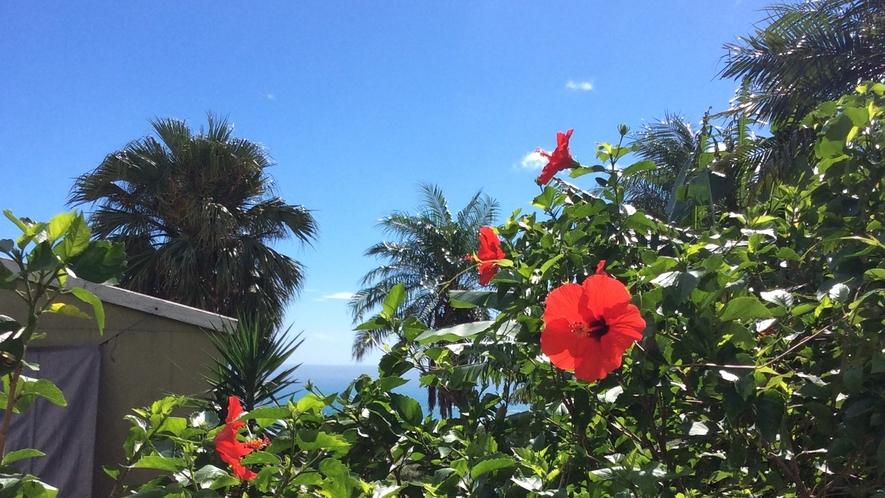 *[ハイビスカス]種子島の夏、ハイビスカスが咲き誇ります。