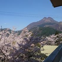 ・【桜】桜の咲く和室8畳/春の景観