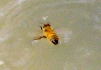 最初のお客様は日本ミツバチでした