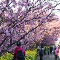 三浦海岸桜まつりは2月中旬から3月中旬に開催♪