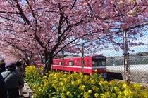 2月から3月に三浦海岸を彩る河津桜