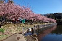 2月5日から三浦海岸桜まつり開催!千本の河津桜が咲き誇る♪