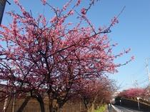 一部の超早咲きの河津桜が咲いています!2017年1月4日撮影。