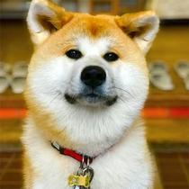 *秋田犬の温(はる)ちゃん。10月10日で7ヶ月になりました!