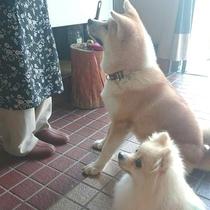 *秋田犬の温(はる)ちゃん。お友達と賢くお座り。2匹の目線の先には何がある…?