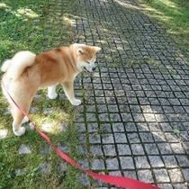 *秋田犬の温(はる)ちゃん。お散歩しながらお日様浴びていい気持ち♪