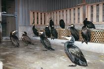 鵜飼の里 「鳥屋」 岐阜市提供