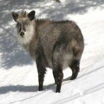 *ゲレンデでは野生動物と遭遇することも