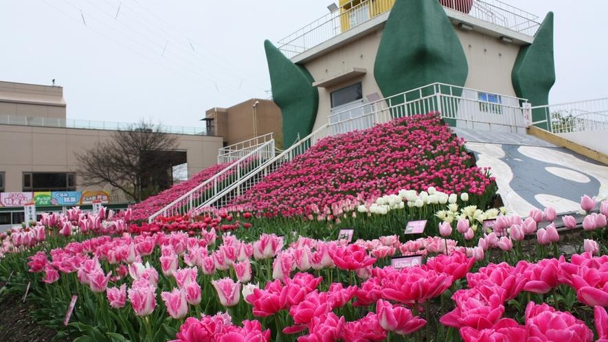 *春を彩る美しいチューリップを是非見に来てくださいね~