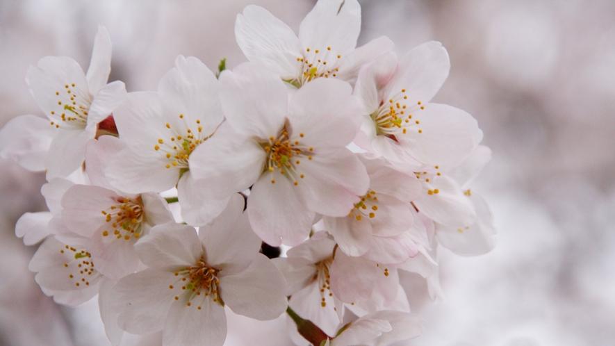 *春爛漫♪荘川峡の春を見に来てください。