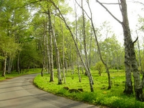 農場への散歩道、白樺並木