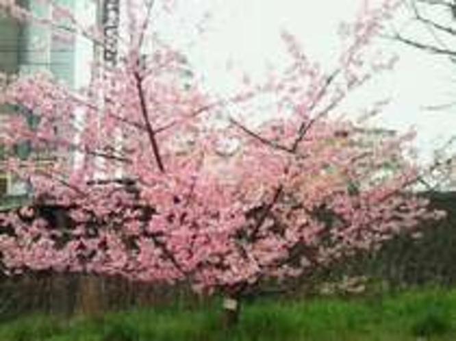 春にはホテル前に綺麗な桜が咲きます。