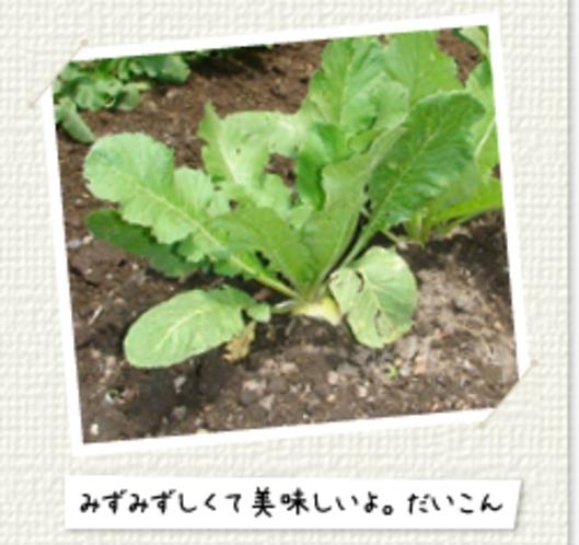 畑で野菜を自家栽培しています