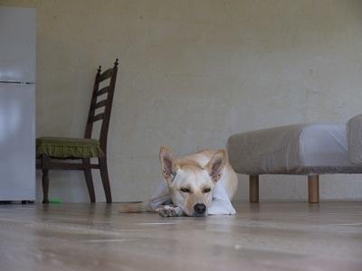 看板犬「アリギス」