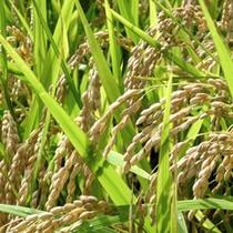 *【稲刈り】秋と言えば稲狩り!黄金色に実った稲にはお米がたっぷり♪