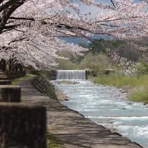 遠刈田温泉 桜