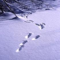 冬 ウサギ足跡