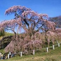 三春の滝桜.jpg