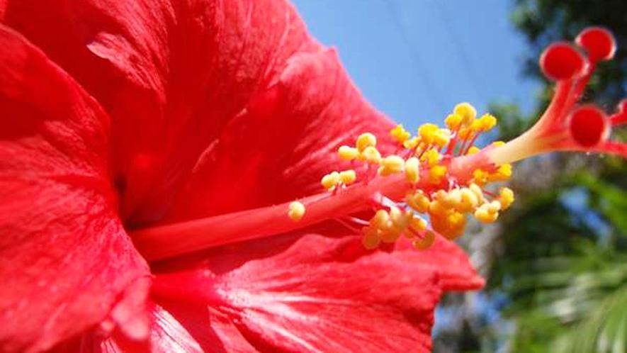 *【周辺】庭や施設の回りには、多様なハイビスカスの花を見ることができます。