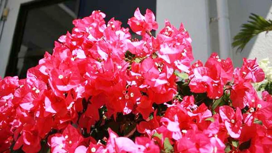 *【施設入口】当館入口には南国の花、ブーゲンビリアの花が咲き誇ります。