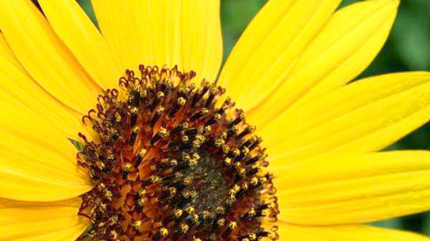 *【周辺】太陽の光を全身に浴びて育ったひまわりが、夏のお客様をお出迎えします。