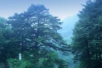 【自然】つがの木
