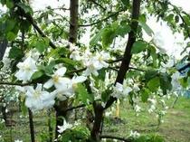 りんごの花が咲き出した、神鍋リンゴ園