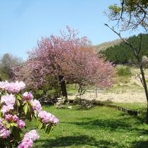 4月 しゃくなげと八重桜。春です!ログの周りも素晴らしい景色です。