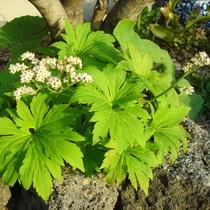 春 庭ヤツデの花