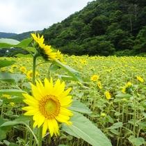 道の駅神鍋高原から徒歩5分ほどの「ひまわり畑」です。