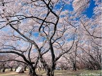 桜_西公園