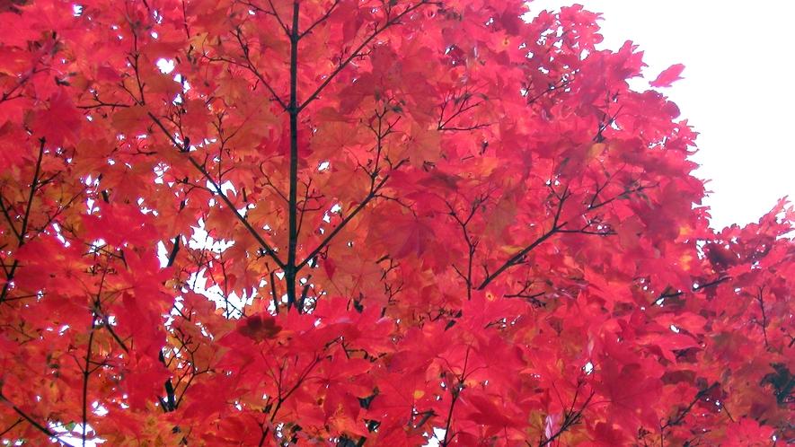 *尾瀬(紅葉)/草紅葉だけでなく、遊歩道の近くにも鮮やか紅葉が葉を揺らしてお待ちしています