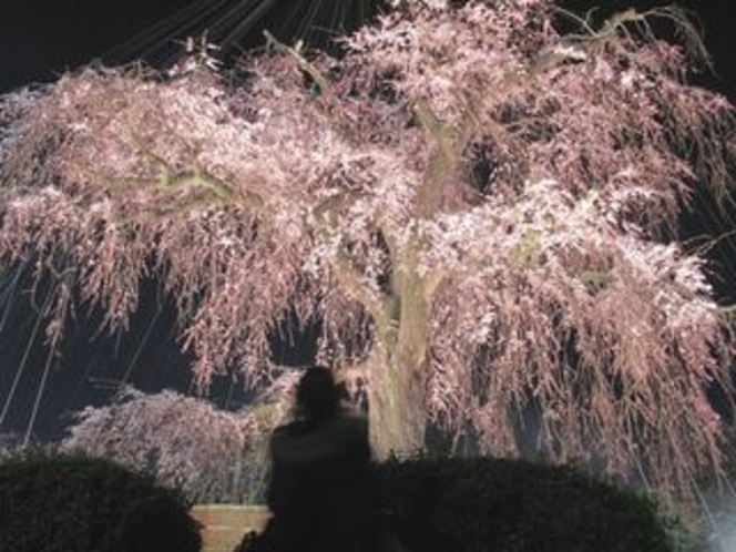 Cherry blossom blooming-a