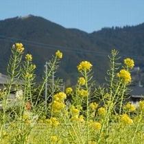 菜の花と若杉山