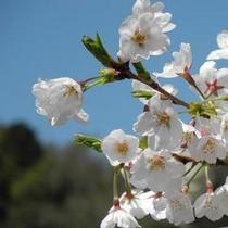 【呑山観音寺の桜】春は桜、シャクナゲ、コブシ、夏はアジサイと深緑、秋は紅葉、冬は雪景色
