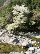 仁科川の桜3