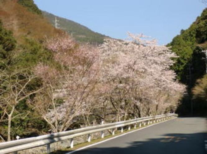仁科川の桜