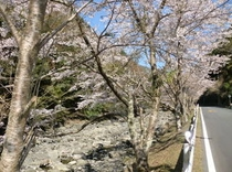 仁科川の桜2