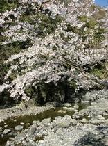 仁科川の桜4