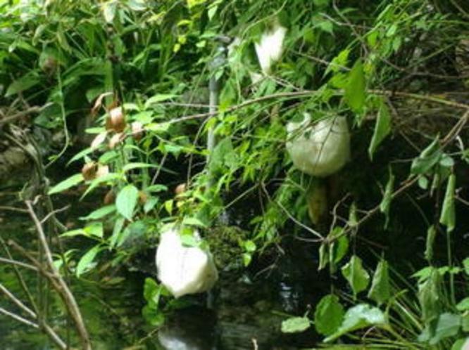 モリアオガエルの卵3
